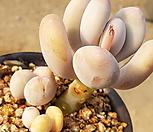 목대 복숭아미인군생10|Pachyphytum cv mombuin