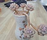 월미인자연군생한몸|Pachyphytum oviferum Tsukibijin