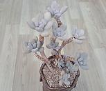 성미인 한몸군생|Pachyphytum oviferum