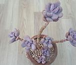 홍미인한몸군생|Pachyphytum ovefeum cv. momobijin