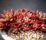 아즈타트랜시스(25두이상)|Echeveria longissima var aztatlensis