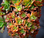 에오니옴철화&생얼|Aeonium canariense