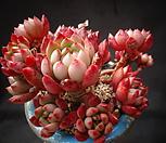 핑클루비|Sedeveria pink rubby