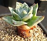 환엽블러쳐스(실뿌리)|Dudleya farinosa