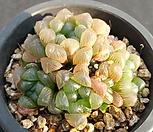 자옵튜샤|Haworthia var. obtusa(purple)