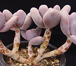 오비포럼|Pachyphytum oviferum