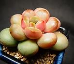 아메트롬(홍포도)|Graptoveria Ametum