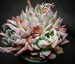 자라고사(신품종)|Echeveria mexensis Zaragosa