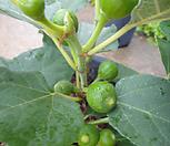 신종무화과나무-기존것보다 당도와영양분이 2배 열매 잘맺어요|