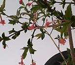 종다리홍괴불(앵신락)|