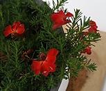 초연초(빨강)|