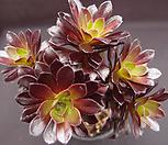 흑법사(목대적심) Aeonium arboreum var. atropurpureum