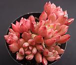 핑클루비(목대) Sedeveria pink rubby