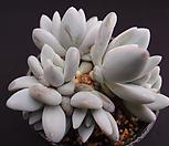 후레뉴군생(적심) Pachyphtum cv Frevel