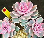 웨스트레인보우 38|Echeveria rainbow
