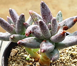 레드크라우쿰 9.79|Pachyphytum compactum var. glaucum