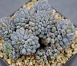 1778. 블루빈스|Graptopetalum pachyphyllum Bluebean