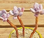 묵은 그리니치카울|Pachyphytum glutinicaule