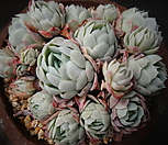 라즈베리아이스(묵은둥이)|Echeveria Rasberry Ice