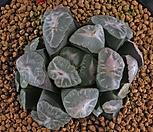XP1427-만상(万象) 컷트묘|Haworthia maughanii