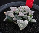 XP1430-堀川ピグマエア  굴천 피그마에아 3두|Haworthia pygmaea