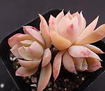 핑크베라 