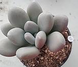 성미인목대군생_89|Pachyphytum oviferum