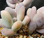 홍미인금|Pachyphytum ovefeum cv. momobijin