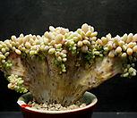 익스펙트리아철화|Cremneria Expatriata f.cristata