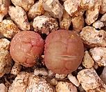 Conophytum군생(탈피중) 