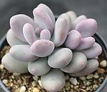 홍미인 군생 5533|Pachyphytum ovefeum cv. momobijin
