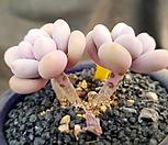 아메치스 3두자연군생-24|Graptopetalum amethystinum