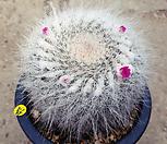 옹옥선인장 1374|Haworthia truncata