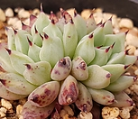 원종자라고사군생검은가시 Echeveria mexensis Zaragosa