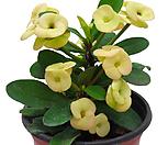 꽃기린(노란색꽃) 