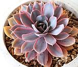 핑키금 963 Echeveria cv Pinky