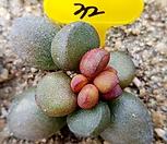 리틀스페로이드-32|Echeveria minima hyb Roid