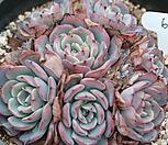라우렌시스군생-6 Echeveria Laulensis