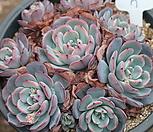 라우렌시스군생-7 Echeveria Laulensis