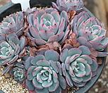 라우렌시스군생-8 Echeveria Laulensis