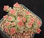 희성금 33-314|Crassula Rupestris variegata