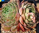 묵은온슬로우 Echeveria cv  Onslow