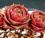 묵은 환엽롱기시마|Echeveria longissima