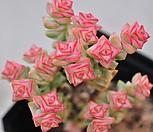 희성금325-66 묵은한몸군생|Crassula Rupestris variegata