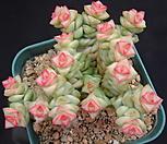 희성금 33-343|Crassula Rupestris variegata