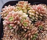 리틀쨈금 84|X Cremnosedum Little Gem (Crassulaceae)