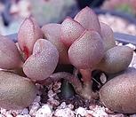 Adromischus marianiae Little spheroid리틀스페로이드목대군생 Echeveria minima hyb Roid