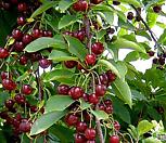 체리나무 레드크라운|