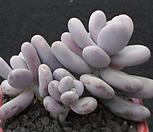 문스톤 3454|Pachyphytum Oviferum Moon Stone