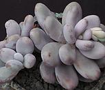 문스톤 3455|Pachyphytum Oviferum Moon Stone